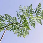 Moringa olejodajna (Moringa oleifera) – Malunggay – cudowna roślina Wschodu – z cyklu medycyna naturalna, zielarstwo i ziołolecznictwo oraz zdrowe odżywianie na Filipinach