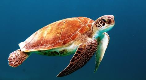Pływanie z żółwiami morskimi – Apo Island, Siquijor, Filipiny